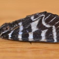Comocrus behri (Mistletoe day moth) at Wamboin, NSW - 17 Jan 2019 by natureguy