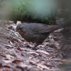 Pycnoptilus floccosus (Pilotbird) at Tidbinbilla Nature Reserve - 25 Apr 2019 by KumikoCallaway