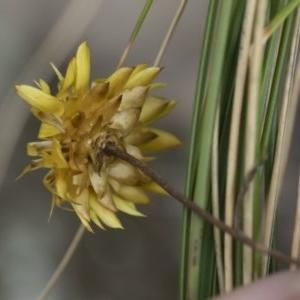 Xerochrysum viscosum at Illilanga & Baroona - 5 Apr 2019
