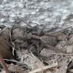 Venatrix pseudospeciosa at Kambah, ACT - 22 Apr 2019