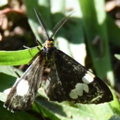 Nyctemera amicus (Senecio or Magpie moth) at Lake Ginninderra - 28 Apr 2019 by Thurstan