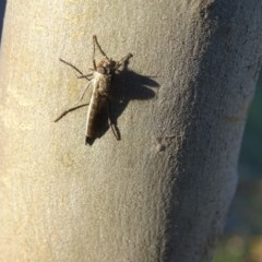 Cerdistus sp. (genus) (Robber fly) at Symonston, ACT - 28 Apr 2019 by Mike