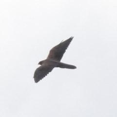 Falco subniger (Black Falcon) at Tumut Plains, NSW - 10 Mar 2019 by RyuCallaway