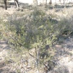 Acacia ulicifolia (Prickly Moses) at Tuggeranong Hill - 29 Apr 2019 by Owen