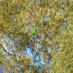 Polytelis swainsonii (Superb Parrot) at Wanniassa, ACT - 29 Apr 2019 by Jenjen