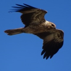 Haliastur sphenurus (Whistling Kite) at Jerrabomberra Wetlands - 26 Apr 2019 by roymcd