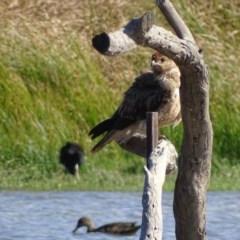 Haliastur sphenurus at Jerrabomberra Wetlands - 26 Apr 2019