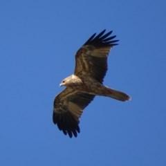 Haliastur sphenurus (Whistling Kite) at Fyshwick, ACT - 29 Apr 2019 by roymcd