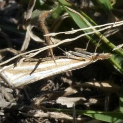 Hednota species near grammellus (Pyralid or snout moth) at Tuggeranong Hill - 18 Apr 2019 by Owen