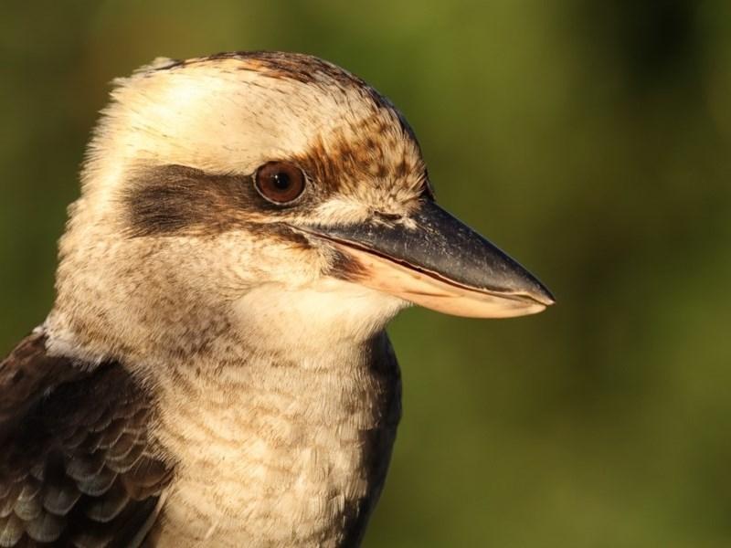 Dacelo novaeguineae at Merimbula, NSW - 26 Apr 2019