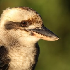 Dacelo novaeguineae (Laughing Kookaburra) at Merimbula, NSW - 25 Apr 2019 by Leo