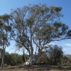Eucalyptus rossii (Inland Scribbly Gum) at Tuggeranong Hill - 18 Apr 2019 by Owen