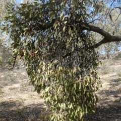 Muellerina eucalyptoides (Creeping Mistletoe) at Tuggeranong Hill - 30 Apr 2019 by Owen