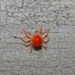 Acari sp. (informal subclass) (Unidentified mite) at ANBG - 30 Apr 2019 by TimL