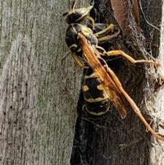 Polistes (Polistes) chinensis at Berry, NSW - 1 May 2019