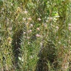 Grevillea linearifolia (Linear Leaf Grevillea) at South Pacific Heathland Reserve - 11 Oct 2018 by NicholasdeJong