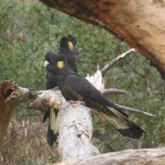 Zanda funereus (Yellow-tailed Black-Cockatoo) at Mount Mugga Mugga - 1 May 2019 by Mike