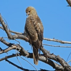 Haliastur sphenurus (Whistling Kite) at Jerrabomberra Wetlands - 26 Apr 2019 by RodDeb