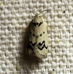 Compsotropha selenias (A Concealer moth) at O'Connor, ACT - 9 Dec 2017 by ibaird