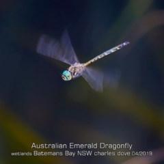 Hemicordulia australiae (Australian Emerald) at Batemans Bay, NSW - 23 Apr 2019 by Charles Dove