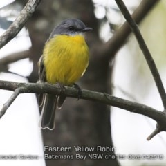 Eopsaltria australis (Eastern Yellow Robin) at Mogo State Forest - 23 Apr 2019 by CharlesDove