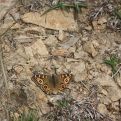 Junonia villida (Meadow Argus) at Federal Golf Course - 2 May 2019 by LisaH