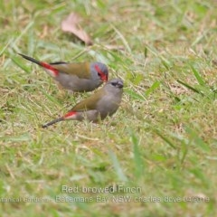 Neochmia temporalis (Red-browed Finch) at Mogo State Forest - 23 Apr 2019 by CharlesDove