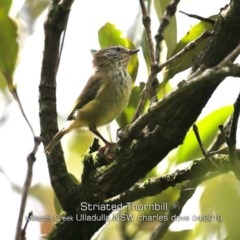Acanthiza lineata (Striated Thornbill) at Ulladulla - Millards Creek - 22 Apr 2019 by CharlesDove