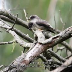 Daphoenositta (Neositta) chrysoptera (Varied Sittella) at Mogo State Forest - 23 Apr 2019 by Charles Dove
