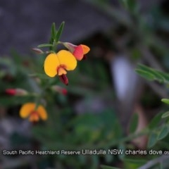 Bossiaea heterophylla (Variable Bossiaea) at South Pacific Heathland Reserve - 28 Apr 2019 by Charles Dove