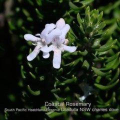 Westringia fruticosa (Native Rosemary) at South Pacific Heathland Reserve - 28 Apr 2019 by Charles Dove