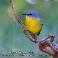 Eopsaltria australis (Eastern Yellow Robin) at South Pacific Heathland Reserve - 28 Apr 2019 by CharlesDove