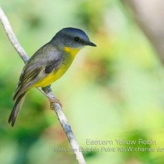 Eopsaltria australis (Eastern Yellow Robin) at Wairo Beach and Dolphin Point - 29 Apr 2019 by Charles Dove