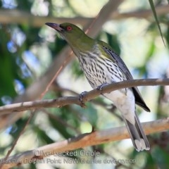 Oriolus sagittatus (Olive-backed Oriole) at Wairo Beach and Dolphin Point - 29 Apr 2019 by Charles Dove