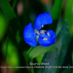 Commelina cyanea (Scurvy Weed) at South Pacific Heathland Reserve - 29 Apr 2019 by CharlesDove