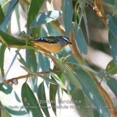 Pardalotus punctatus (Spotted Pardalote) at South Pacific Heathland Reserve - 28 Apr 2019 by Charles Dove