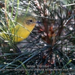 Acanthiza nana (Yellow Thornbill) at South Pacific Heathland Reserve - 28 Apr 2019 by Charles Dove
