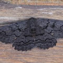 Melanodes anthracitaria (Black Geometrid) at Illilanga & Baroona - 29 Dec 2018 by Illilanga