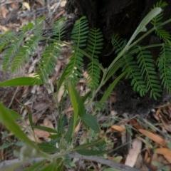 Acacia melanoxylon (Blackwood) at Tuggeranong Hill - 1 May 2019 by Owen