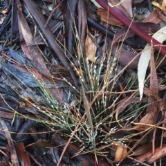 Symonicoccus sp. (genus) (Grass Coccid) at Garran, ACT - 3 May 2019 by ruthkerruish
