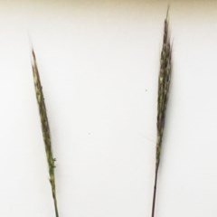 Bothriochloa macra (Red Grass, Red-leg Grass) at Hughes Garran Woodland - 3 May 2019 by ruthkerruish