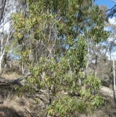 Acacia implexa (Hickory Wattle) at Tuggeranong Hill - 4 May 2019 by Owen