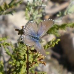Theclinesthes serpentata (Saltbush Blue) at Tuggeranong Hill - 4 May 2019 by Owen