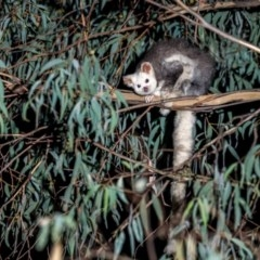 Petauroides volans (Greater Glider) at Lower Cotter Catchment - 20 Apr 2019 by TyrieStarrs