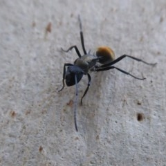 Polyrhachis ammon (Golden-tailed spiny ant) at ANBG - 4 May 2019 by Christine