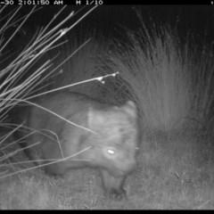 Vombatus ursinus (Wombat) at Illilanga & Baroona - 29 Apr 2019 by Illilanga