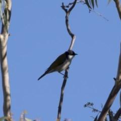 Melithreptus lunatus at Michelago, NSW - 29 Apr 2019