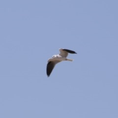 Elanus axillaris (Black-shouldered Kite) at Illilanga & Baroona - 30 Sep 2018 by Illilanga