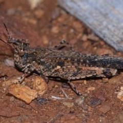 Pycnostictus seriatus (Common Bandwing) at Mount Majura - 4 May 2019 by kdm
