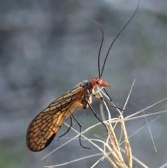 Chorista australis (Autumn scorpion fly) at Aranda Bushland - 29 Apr 2019 by CathB